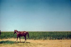 Arabia. Horse tethered near Sudan Grass. King's south of Al Kharj
