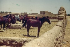 Arabia, King's Horses south of Al Kharj