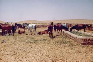 Arabia, King's horses south of Al Kharj