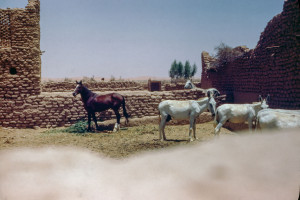 Arabia Stallion. South of Al Kharj. King's