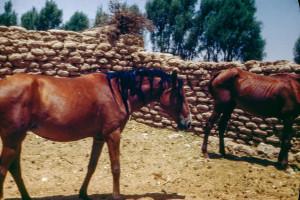 Arabia. King's horses south of Al Kharj
