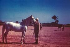 RAS Stallion. 22yr. (Full). Kheir = Good. Premier sire of RAS