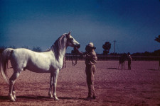 RAS stallion 14yr. (Full). Shahloul = Plunger. Has 80 colts