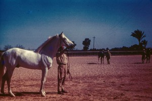 RAS 1946 Stallion 17yr. Balance. Former race horse. Won 17 of 18 races, 6 cups.