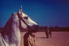 RAS Stallion (Head). Inzahi