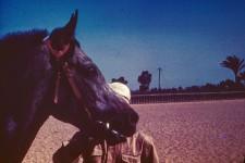 RAS Stallion Gassir
