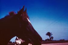 RAS Stallion (Head) El Ayait