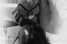 Nefertete and Ga Nefte, Simonson mares