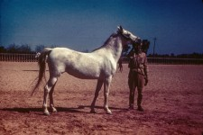 RAS Mare 9 yr. (Full). Sabouha = Morning. Sire - Gamil = Beautiful