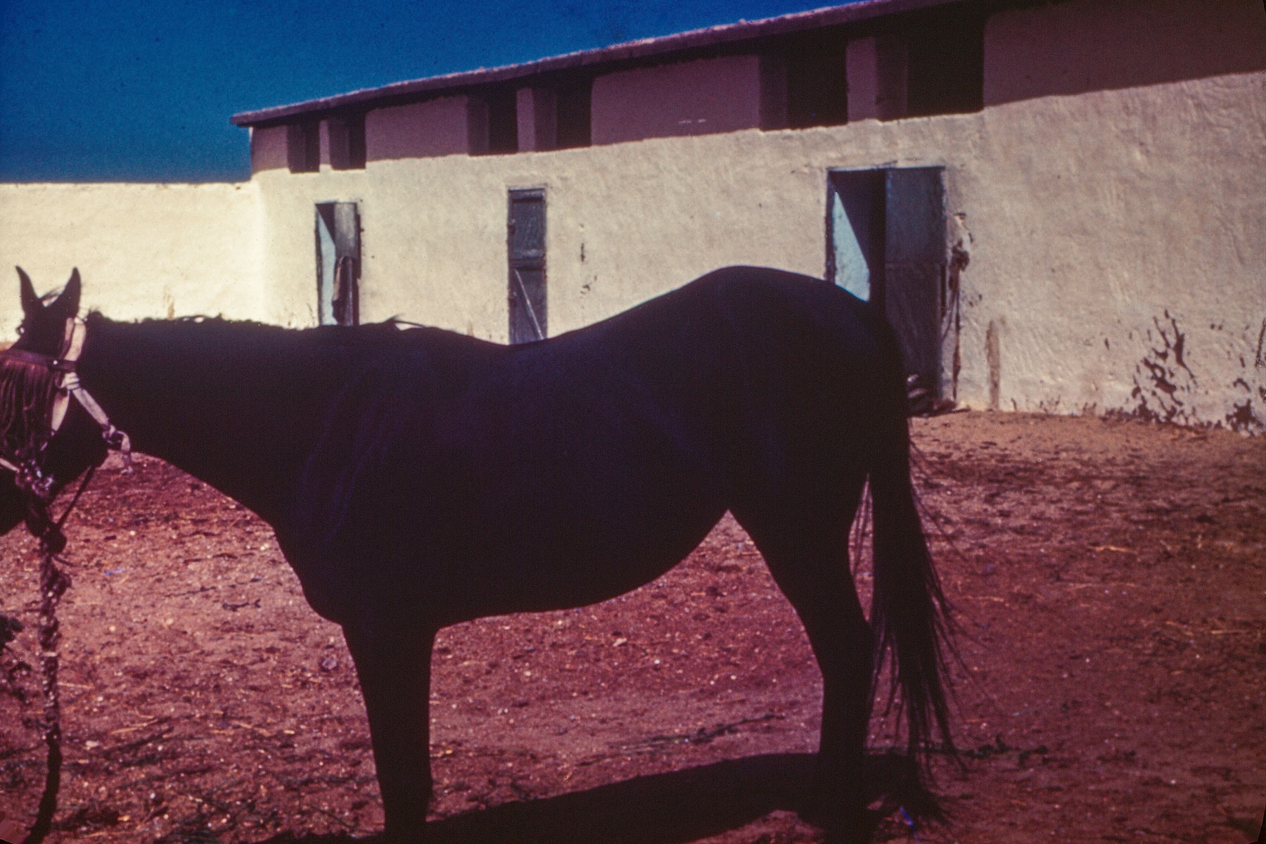 Ras Mare Salwa Black Color Rare Arabian Horse Archives