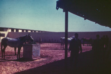 RAS Mares and foals in paddock c1946